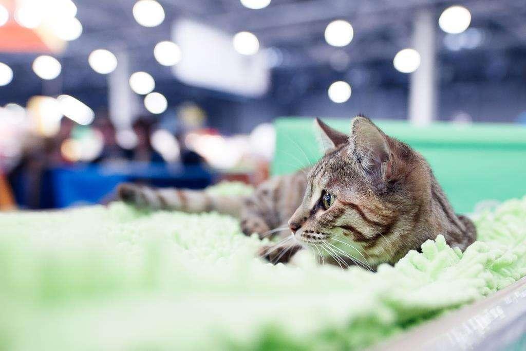 Все шансы попасть в Книгу рекордов России: выставка кошек «Кэтсбург» отметит юбилей новым рекордом