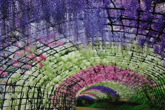 Изумительный тоннель глициний в саду цветов