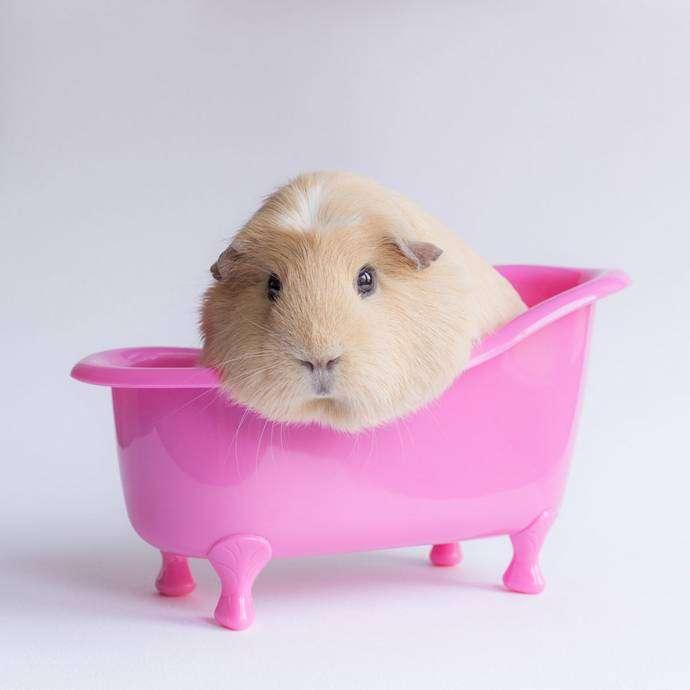 Бубу- самая очаровательная морская свинка в интернете